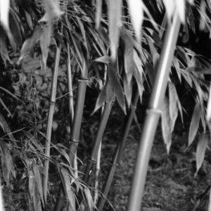 bambou01